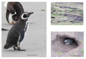 Les Falkland, île Saunders, Manchots de Magellan chez eux.