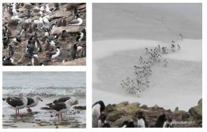 Les Falkland, l'île Saunders, mixité oblige, bains de pattes pour les Pétrels et retour de la plage.