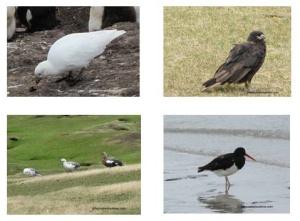 Les Falkland, ile Saunders, Chionis, Oies Antarctique, Caracas et huîtrier.