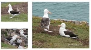 Les Falkland, île Saunders, Albatros à sourcils noirs en famille et en couple.