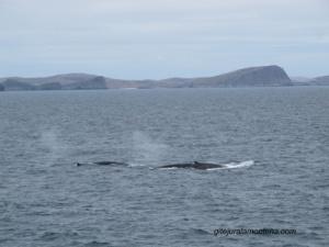 Au large des Falkland, le souffle des Rorquals
