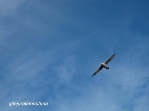 Île Prion, Georgie du Sud, grand albatros hurleur.