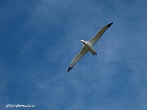 Ile Prion, Georgie du Sud, grand albatros hurleur.