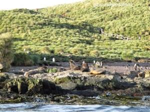 Île Prion, Georgie du Sud, algues laminaires et otaries à fourrure.