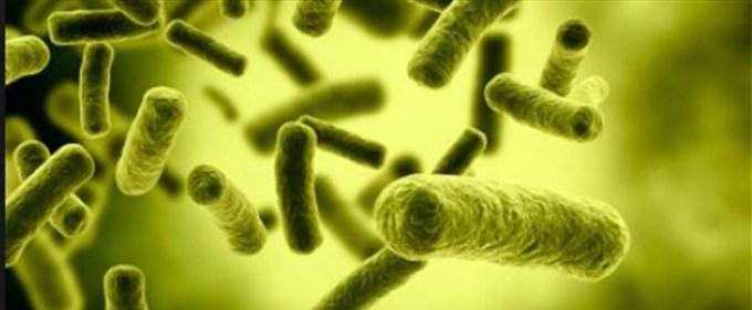 Vue de bacilles Yersinia pestis de forme colonne, responsable de la peste.