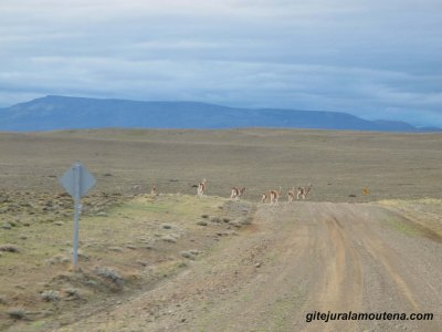 Argentine, Guanacos sur la RP 31.